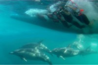 Swim with Wild Dolphins Port Stephens Australia