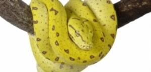 Yellow Snake Australia