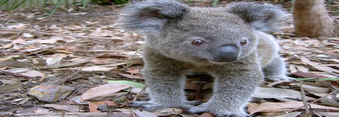 Sydney's Koalas